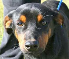 Minerva is an adoptable Miniature Pinscher Dog in Chipley, FL. Minerva is a 6 month old female with a pinscher look but without the size, only about 15 to 20 pounds. She did well on a leash and is ver...