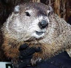 Punxatawney Phil - - THE Groundhog! - [someone else's caption] - [He's from Pennsylvania, my home state.]☺️