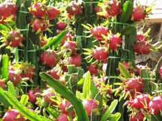 Dragon Fruit South Africa Cuttings For Sale - Planting Method Dragon Fruit Farm, Dragon Fruit Pitaya, Dragon Fruit Plant, Can Tho, Kinds Of Fruits, Best Fruits, Plante Fruit Du Dragon, Como Plantar Pitaya, Beautiful Farm