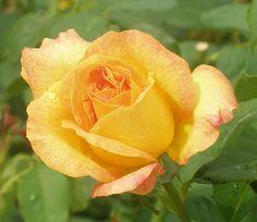 Longwood Garden rose