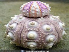 Beautiful Sea urchin : Part of Fascinating Fractals in Nature.