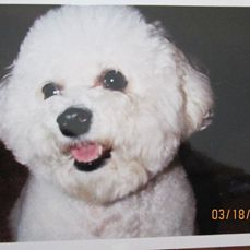 Jazzy my 1st Bichon Frese!  Lost her to cancer 6 years ago at age 10.  She was a fantastic dog!  Rest. In peace honey!
