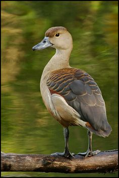 Lesser Whistling Duck (Dendrocygna javanica) breeds in the Indian subcontinent and Southeast Asia