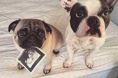 Pregnancy announcement idea #dogs #frenchie #pug