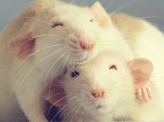 Rats are so cute ^-^