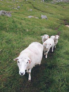 owce, Lofoty, 2015   sheeps <3