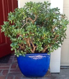 Jade Plant By The Front Door