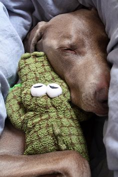 Weimaraner sleeping with a toy Croc,.. sleeps under the covers too....with paws out over the blanket.