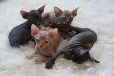 | Pile of Multicolor Sphynx Kittens! |
