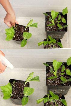 Hydrangea Care, Hydrangea Flower, Dalia Flower, Plant Cuttings, Propagation, Growing Flowers, Planting Flowers, Propagating Hydrangeas, Plants That Love Shade