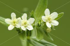 Glad parelzaad (Lithospermum officinale), Frankrijk door Marc de Clerck Greek Flowers, Gifts, Beautiful, Presents, Favors, Gift