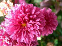 kleine Astern by FreyaDea, via Flickr .... gut haltbar, für die Füllung der Blumen-Deko