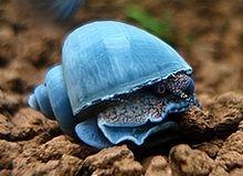 blue Mystery snail.