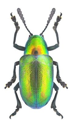 Image result for PLATYCORYNUS Leaf Beetle, Beetle Bug, Macro Pictures, Bugs And Insects, Amphibians, Animal Pictures, Creatures, Butterfly, Beetles