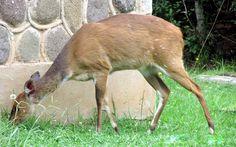 Bushbuck doe by AJ Liebenberg