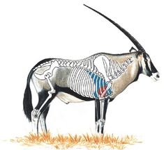 Gemsbok Shot Placement Guide - If the head is tilted back and horn tips touch beyond the start of the black portion on the rump, the trophy will score well Africa Hunting, Boar Hunting, Hunting Rifles, Archery Hunting, Hunting Gear, Hunting Stuff, Blue Wildebeest, Rifle Targets, Archery Bows