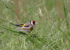 Goldfinch by scsutton #nature #mothernature #travel #traveling #vacation #visiting #trip #holiday #tourism #tourist #photooftheday #amazing #picoftheday