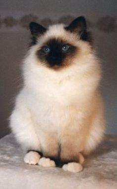 What a beautiful Birman kitty……