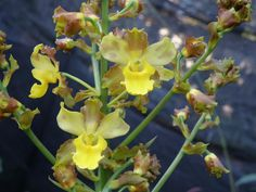 Orchid: Cyrtopodium withner