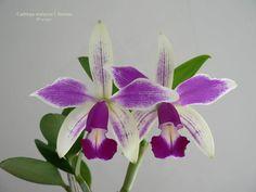 Cattleya violacea f. flamea