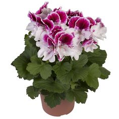 Elegance - Bravo - Franse Geranium - Regal Pelargonium - Edelgeranie - Le Pelargonium - www.fransegeranium.nl www.hendriksyoungplants.nl