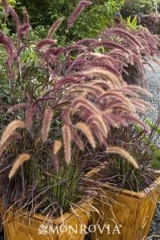 A guide to ornamental grasses that thrive in the local area (with photos) | Nooga.com  The Barn Nursery, Chattanooga!