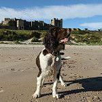 Charlie, wearing Bamburgh Castle, with pride as his crown. por Sandra Standbridge.