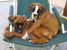 Boxer pups~cute