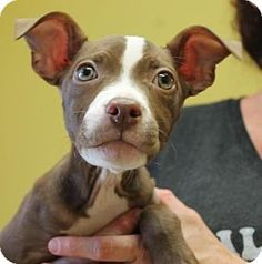 Philadelphia, PA - Pit Bull Terrier Mix. Meet Fawn, a puppy for adoption. http://www.adoptapet.com/pet/11920698-philadelphia-pennsylvania-pit-bull-terrier-mix