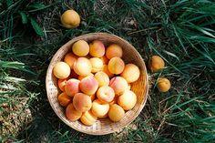 apricot harvest (by mitošinkovie)