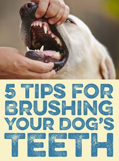 5 Tips for Brushing Your Dog's Teeth! Also if your dog doesn't    care for the minty toothpaste, they do have peanut butter flavored toothpaste :)
