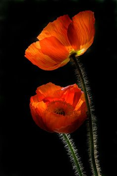 orange poppies❤️