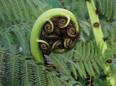 """The koru, which is often used in Māori art as a symbol of creation, is based on the shape of an unfurling fern frond. Its circular shape conveys the idea of perpetual movement, and its inward coil suggests a return to the point of origin. The koru theref Fern Frond, Cool Doodles, Art Deco Illustration, Maori Art, Kiwiana, Sharpie Art, Diy Canvas, Art Activities, Disney Art"