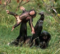Chimpanzee baby gymnastics!