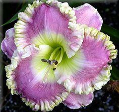 Daylily: Hemeroallis 'Vanilla Lace'