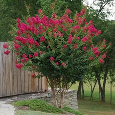 RED Crape Myrtles Available as Miniatures, Dwarves, Medium Height or Standard Trees. - The Crape Myrtle Company Crepe Myrtle Trees, Lagerstroemia, Baumgarten, Garden Trees, Small Trees, Trees And Shrubs, Dwarf Flowering Trees, Front Yard Landscaping, Dwarf Trees For Landscaping
