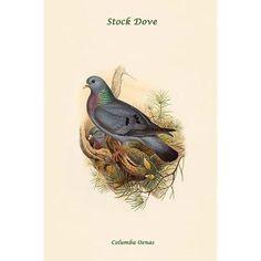 Buyenlarge 'Columba Oenas Stock Dove' by John Gould Graphic Art Size: