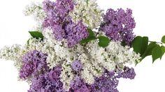 Lilacs 18