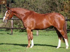 Chestnut Hunter - Warmblood Dolittle - Gelding horse for sale | Benny de Ruiter Stables