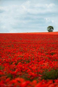 Poppy field by Marjo Laitakari