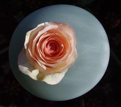 Explore G J Freeman's photos on Flickr. G J Freeman has uploaded 106 photos to… Ikebana, Explore, Rose, Ethnic Recipes, Flowers, Plants, Photos, Pink, Pictures