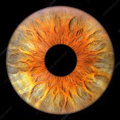 Iris and pupil of the eye Overlays, Eyes Clipart, Eye Texture, Biology Art, Amber Eyes, Photos Of Eyes, Crazy Eyes, Dragon Eye, Human Eye