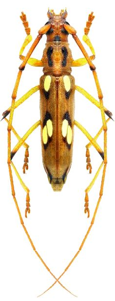 Eburodacrys sexmaculata