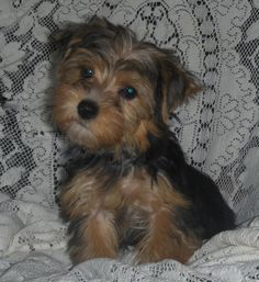 Morkie...this looks like my daughter, Amy's puppy Dasiey