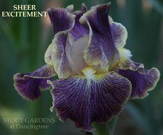 Iris SHEER EXCITEMENT | Stout Gardens at Dancingtree