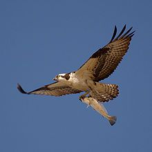 Yesterday i went for a walk and a giant osprey flew overhead with a fish in it's talons
