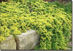 Jałowiec płożący 'Golden Carpet' Juniperus horizontalis