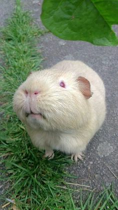 Beautiful guinea pig