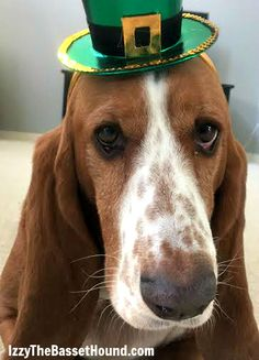 Guess who's part Irish… - Izzy the Basset Hound on St. Patrick's Day