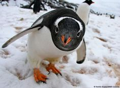 Gentoo penguin it looks like he's saying oh theirs a camera here hello